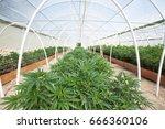 commercial cannabis grow... | Shutterstock . vector #666360106