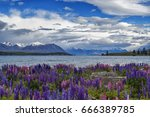 flowering of lupins in lake... | Shutterstock . vector #666389785