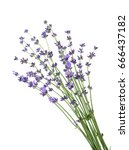 lavander isolated without shadow | Shutterstock . vector #666437182