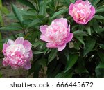 pink peony flowers close up | Shutterstock . vector #666445672