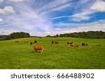cows and calves in a green... | Shutterstock . vector #666488902