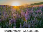 sunrise over the field of clary ... | Shutterstock . vector #666603286