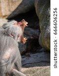 Male Sacred Baboon  Papio...