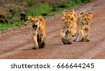 """here we come ""  these 4 lion... 