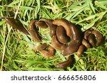 Small photo of Group of slugs eating in the garden. Spanish slug (Arion vulgaris) invasion in garden. Invasive slug. Garden problem in Europe. Selective focus.