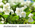 Close Up Of Jasmine Flowers In...