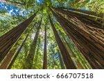 Giant Redwoods In Muir Woods...