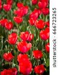 beautiful red tulips in nature | Shutterstock . vector #666723265