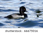 Ring Neck Duck Swimming In Blu...