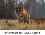 siberian tiger panthera tigris ... | Shutterstock . vector #666773845
