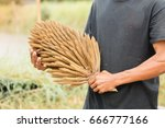 Small photo of Workers holding an inflorescence of palm in hand.