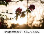 Blossom With Sunset In The...