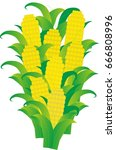ripe corn in the group | Shutterstock .eps vector #666808996