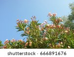 A Blossoming Oleander Tree...