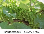 Small photo of Summer grape. Home gardening. Green grapes
