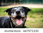 portrait of a happy old dog at... | Shutterstock . vector #667071232