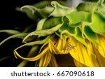 pretty yellow jumping spider on ... | Shutterstock . vector #667090618