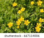 Yellow Buttercup Flowers....