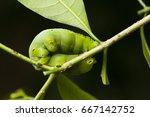 The Big Green Caterpillar On A...