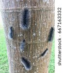 Small photo of Zooming closeup view of teem large black hairy caterpillars climbing up on a tree