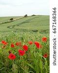 poppies growing beside a wheat...   Shutterstock . vector #667168366