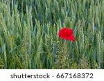lone poppy growing in wheat...   Shutterstock . vector #667168372