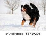Lucky Bernese Berner Sennenhund