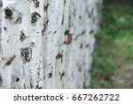 Fence Made Of Young Birch Trees.