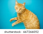 careless redhead pussy cat...   Shutterstock . vector #667266052