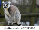 Ring Tailed Lemur Perching