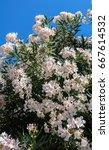 Blooming White Oleander  Neriu...