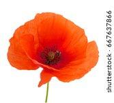 bright red poppy flower... | Shutterstock . vector #667637866
