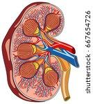 kidney anatomy cross section... | Shutterstock .eps vector #667654726