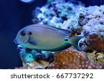 Small photo of marine fish live in coral reef under the sea, popular to used as a pet in an aquarium or home fish tank.Doubleband surgeonfish, Acanthurus tennentil, Acanthuridae.
