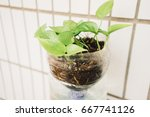 Small photo of ivy arum