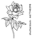 hand drawn garden rose flower... | Shutterstock . vector #667748398