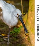 White Spoonbill Standing With...