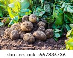 fresh organic potatoes in the... | Shutterstock . vector #667836736