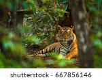 indian tiger male with first... | Shutterstock . vector #667856146