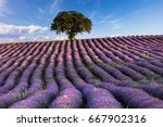 violet furrows of lavender... | Shutterstock . vector #667902316