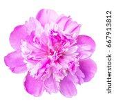 beautiful peony isolated on...   Shutterstock . vector #667913812