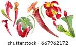 wildflower sarracenia flower in ... | Shutterstock . vector #667962172
