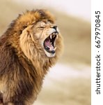 Stock photo great lion 667970845