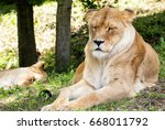 Lioness With A Sleeping Lion I...