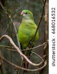 Wild Juvenile Superb Parrot ...