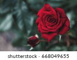 Stock photo scarlet rose close up image for postcard blog flower shop magazines 668049655