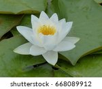 Small photo of Nymphaea-Hybrid, William B. Shaw. Nymphaeaceae family