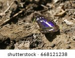 A Rare Purple Emperor Butterfl...