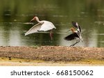 Small photo of White Ibis Chased Away by American Avocet