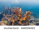 Small photo of Elkhorn coral ,Acropora palmata is considered to be one of the most important reef-building corals in the Caribbean.